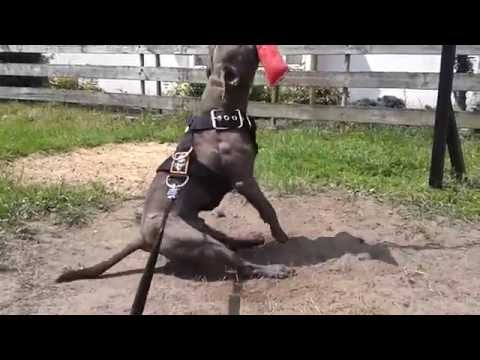 How To Gain Muscles On Your Dog With A Springpole