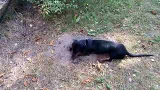 Торик роет яму