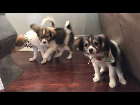 Puppies for Sale - Papillons