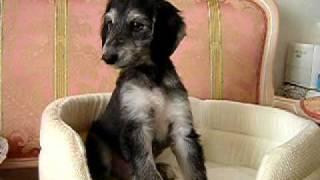 我が家のアフガンの仔犬の動画で、目の大きな父親似の男の子。 生後60...