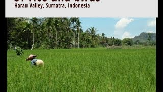 Rice farming in Indonesia: war with hungry birds