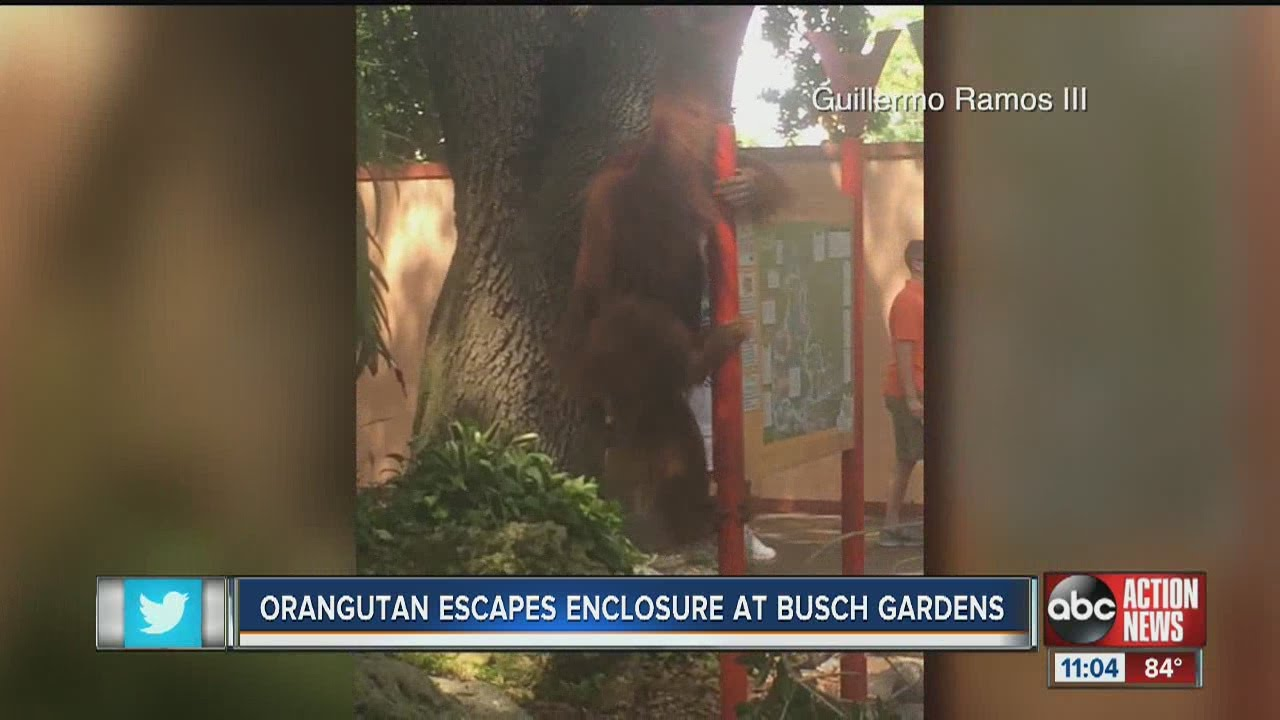 2nd Orangutan in less than 3 weeks esacpes habitat at Busch Gardens ...