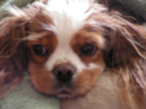Riley The Cavalier: NEUTERING SHORT STORY - IT ALL TURNS OUT OK