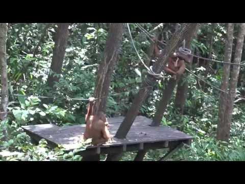 Borneo Orangutans day two at 4K