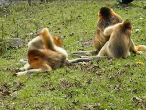 Golden Snub-nosed Monkeys in the Qinling Mountains