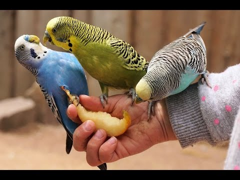 44 Minutes Relaxing Parakeets Bird Chirping Sounds, Reduce high blood pressure