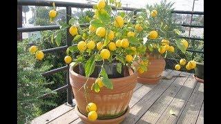★Как вырастить лимон в чашке: руководство для всех. Подойдет даже начинающим садоводам!
