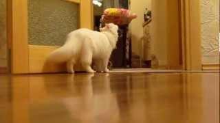 Щенок Кавалер-кинг-чарльз-спаниеля и кошка