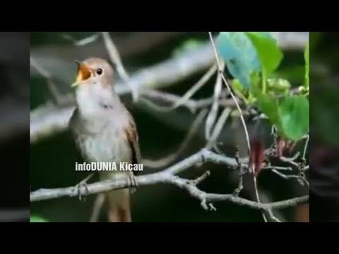 Di JAMIN NEMBAK JOOSSS !! Bila Burung Kicau Isian Burung Ini   Common Nightingale   Sikatan Londo
