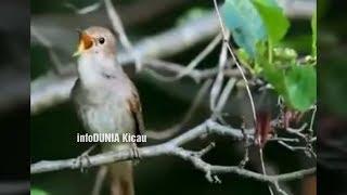 Di JAMIN NEMBAK JOOSSS Bila Burung Kicau Isian Burung ini Common Nightingale Sikatan Londo