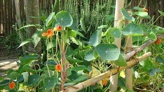 ナスタチウムの夏を乗り切る工夫-Nasturtium-~自然のハーバルライフ~-HERB-Japanese Herb Garden Gardening