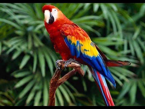 Babacik Papagan Ve Muhabbet Kusu Konusturma Sesi Ayarlanmis Ses