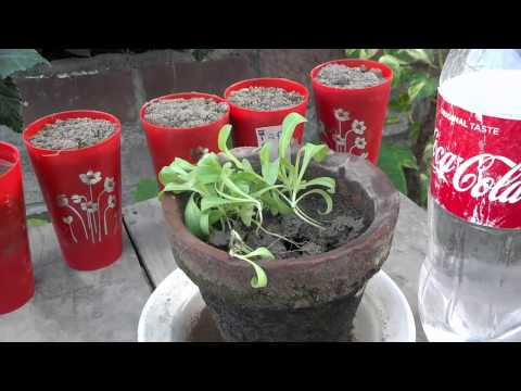 How To Grow Calendula From Seed   Sowing Flower Seeds   Start to End   September-2016 (Urdu/hindi)