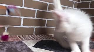 Белый котёнок Мейн Кун питомник Лионтари Астери Саратов