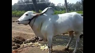 Khillar bull खिलार बैल Great bull never seen before