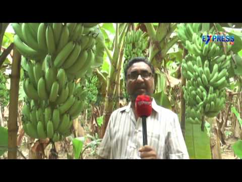 35 Tons Banana yield per acre with the support of Natural farming - Express TV
