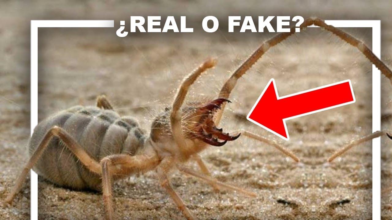 Araña que come carne Humana ¿Real?
