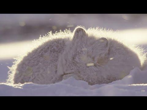 Песец: искусство выживания! Интересные факты о полярной лисице