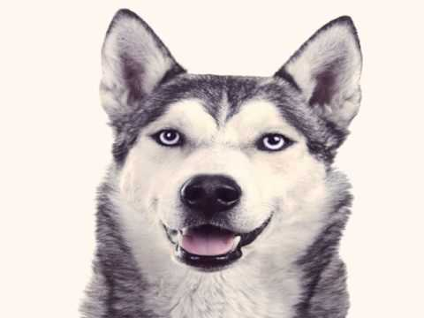 Image Result For Siberian Husky Stuffed Animal