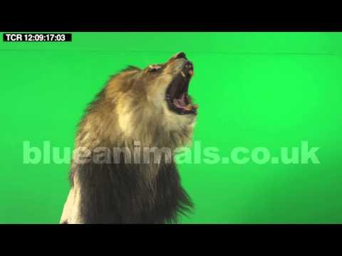 LION footage | growls, swipes, roars | chromakey | HD