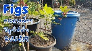 ปลูกมะเดื่อฝรั่ง Figs หม่อน Mulberry ในกระถางหน้าบ้าน ก้ได้กินลูกนะครับ : เกษตาผสมผสาน EP.36