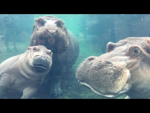 Watch Baby Hippo Fiona Reunite With Mom and Dad