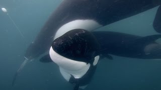 GoPro: Orca Rescue in 4K