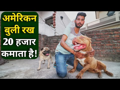 पढ़ाई के साथ कमाई करता युवा|American Bully Dog Price in Dog kennel India
