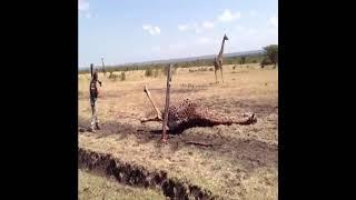 철사에 발목이 걸린 기린 구조하기