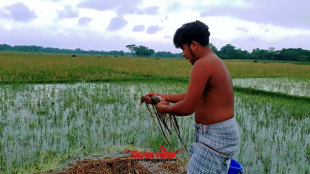 Best Hand Fishing Video | Catching Catfish in Rice Field #3 #UniqueFishing