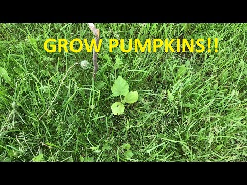 Checking on the pumpkin and potato growths