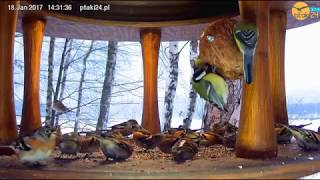 Nalot jerów na karmnik dla ptaków nad Soliną