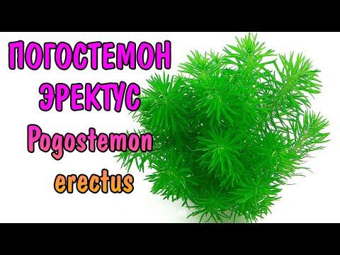ПОГОСТЕМОН ЭРЕКТУС  ( Pogostemon erectus )