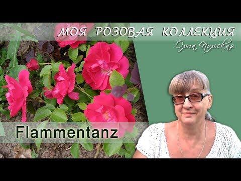 Моя Розовая Коллекция – 3. Роза Фламентанц (Flammentanz)