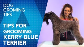 Tips for grooming a Kerry Blue Terrier by Maite García