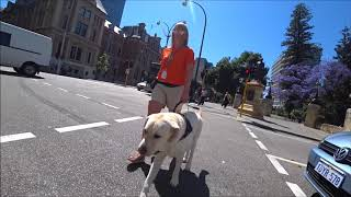 Guide Dogs WA  What does a Guide Dog do? Olly  Must see super dog