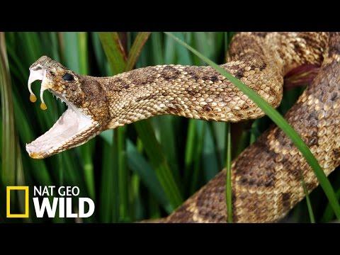 Serpent dangereux - Armures Animales
