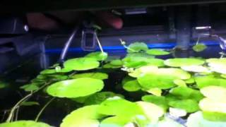 Planted 20 Gallon Fish Tank.. Pennywort Is A Great Floating Plant
