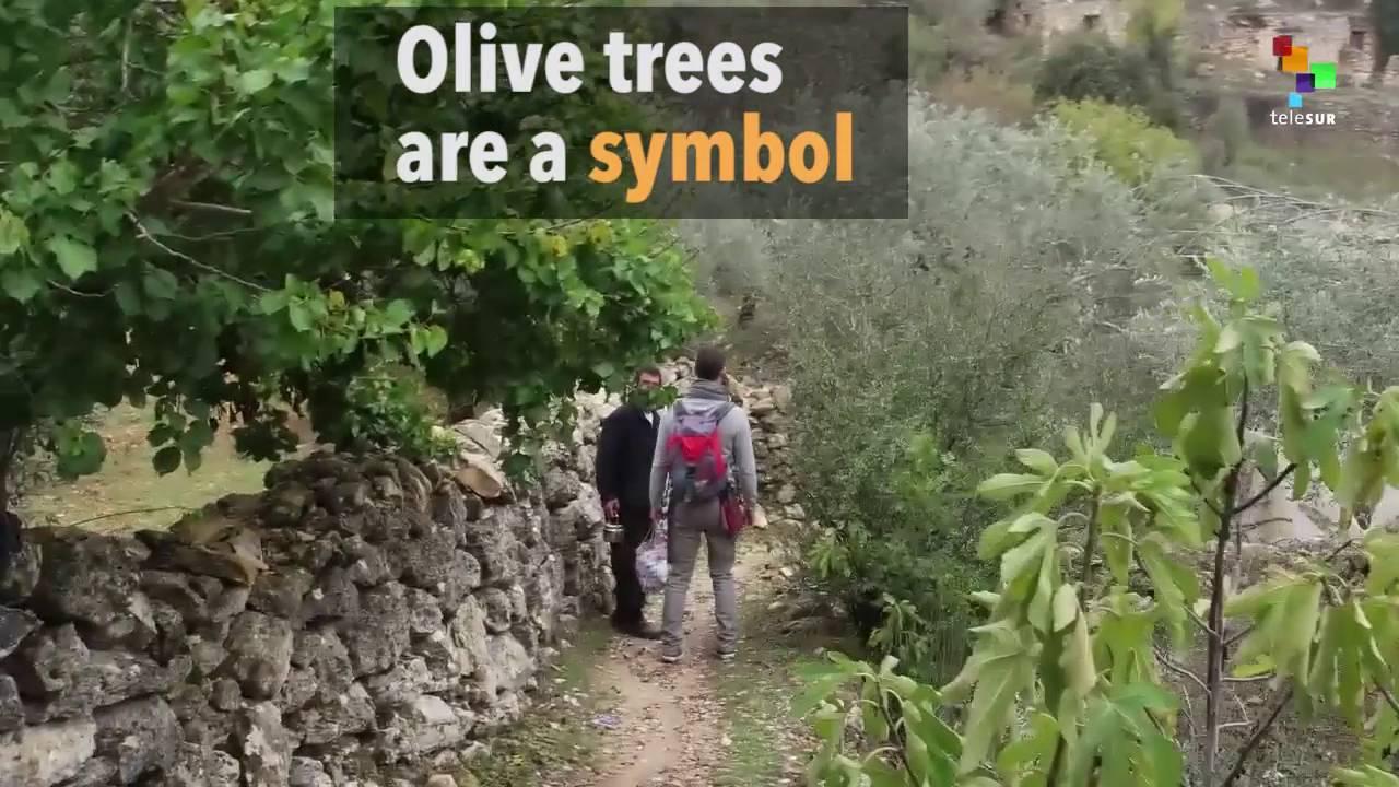 Palestines olive tree a symbol of resistance youtube palestines olive tree a symbol of resistance buycottarizona Choice Image