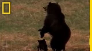 Wolves vs. Grizzly Bears | National Geographic thumbnail