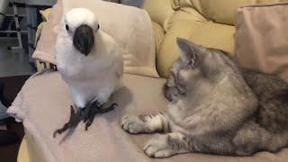 Cockatoo Interupts Cat Nap || ViralHog