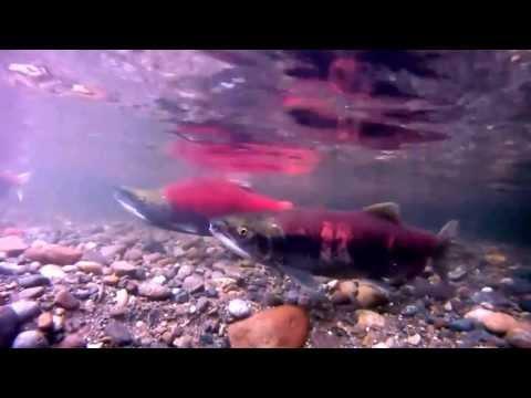 Sockeye Salmon Spawning in Cedar River Renton, Wa 10-14-2013