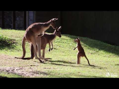 Toronto Zoo's Kangaroo Joey- Sassy Kangaroo