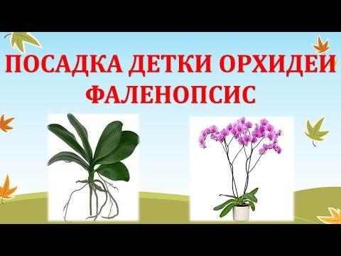 ПОСАДКА ДЕТКИ ФАЛЕНОПСИСА / ГОРШОК ДЛЯ ОРХИДЕИ СВОИМИ РУКАМИ