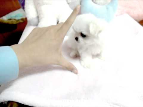 Teacup Puppy Maltese Dogs For Sale Youtube