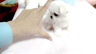 Teacup Puppy, Maltese, Dogs For Sale