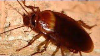 La Cucaracha (Ya No Puede Caminar) - Con letra