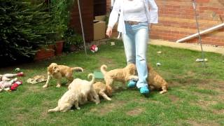 Goldendoodle Puppies House Training