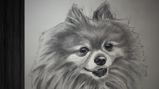 *Speed Drawing Dog* Charcoal Pomeranian Portrait