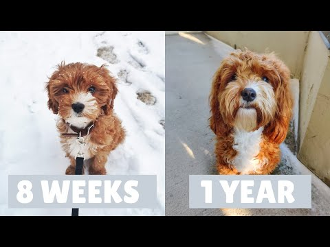 Cavapoo Puppy Growing Up | 8 Weeks to a Year